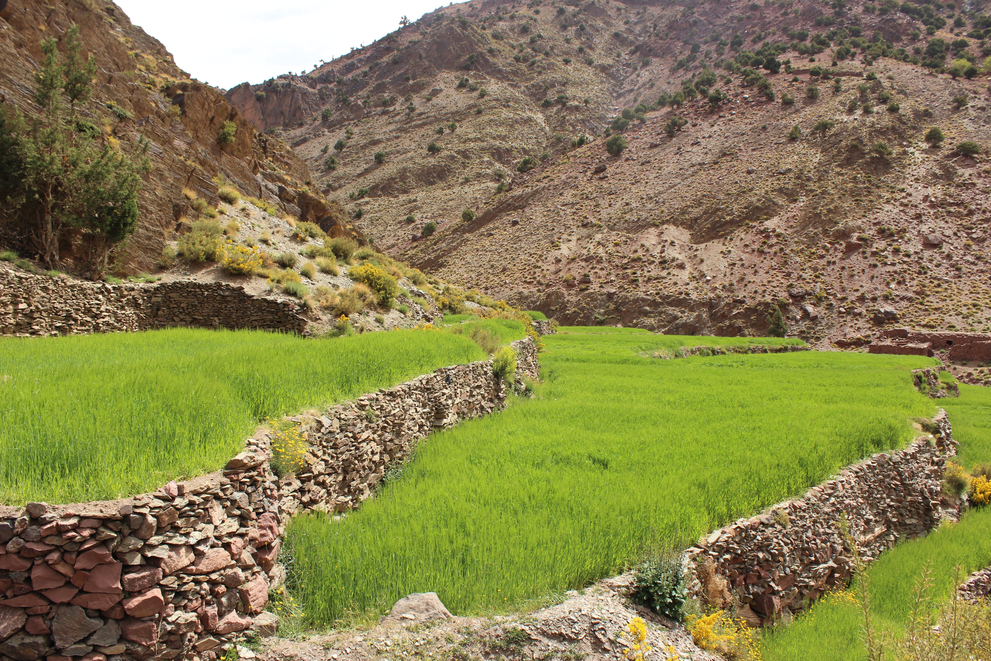 Lime-green barley terrace of lower valley, M'goun massif, High Atlas mountains, Morocco