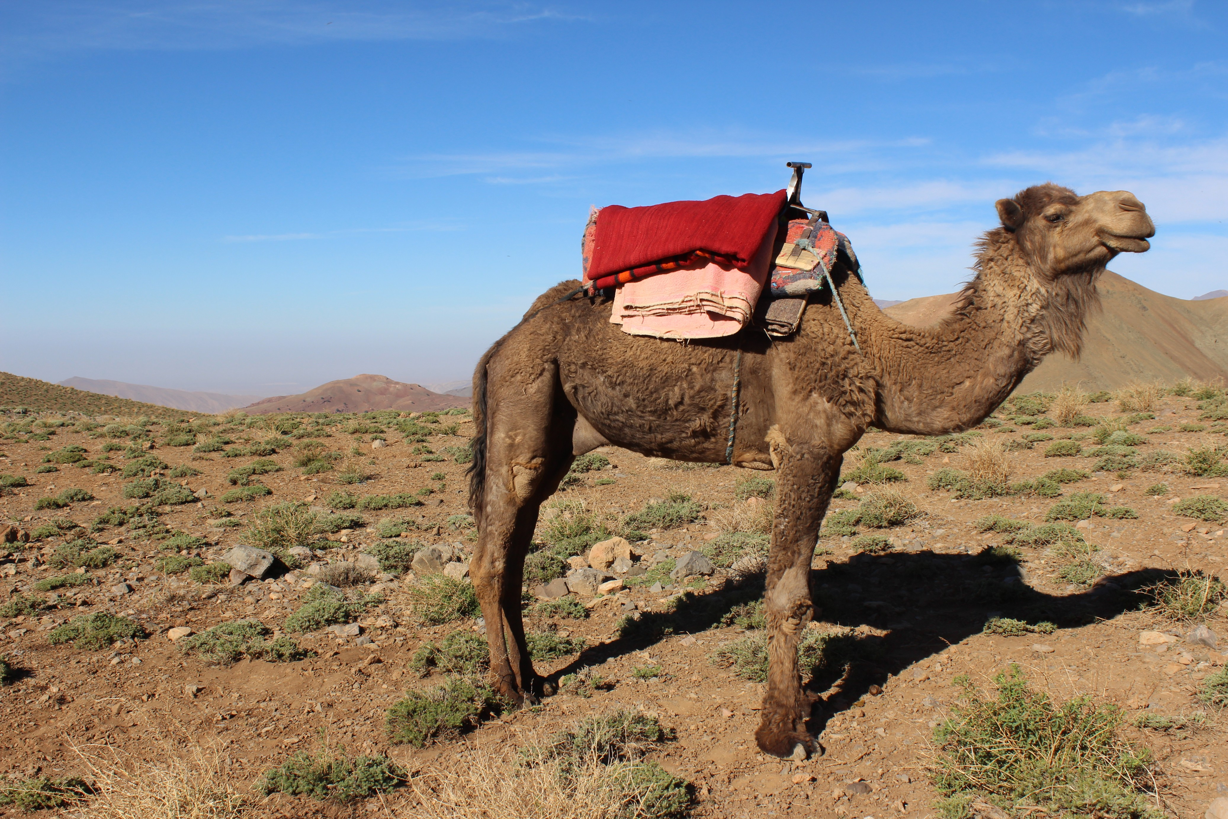 Camel on the Tatarart pastures, High Atlas mountains, Morocco
